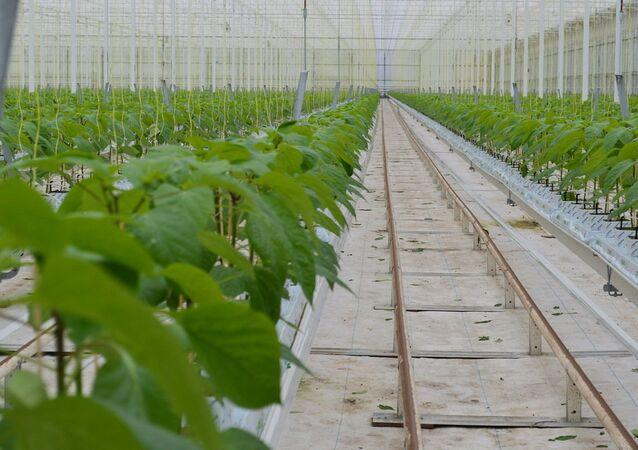 Dutch Pepper Grower: Russia Was a Growing Market