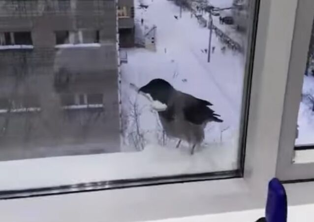 Crow steals a spoon