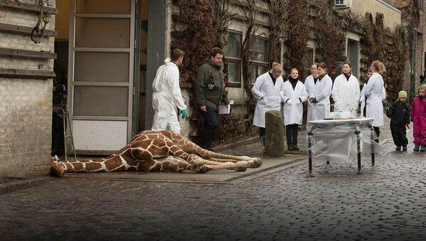 Giraffe Copenhagen - Sputnik International
