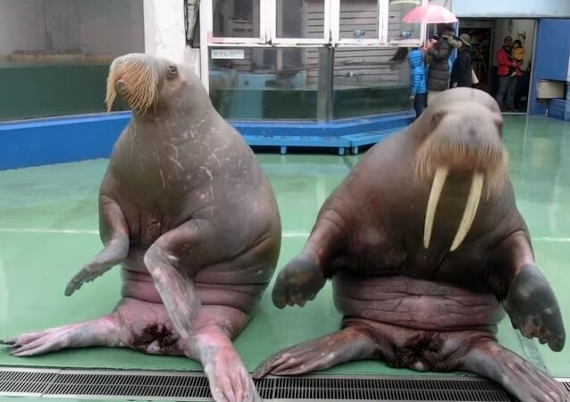 Walruses dance on PPAP song