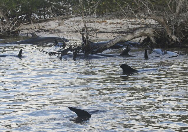 False Killer Whales Stranded in South Florida