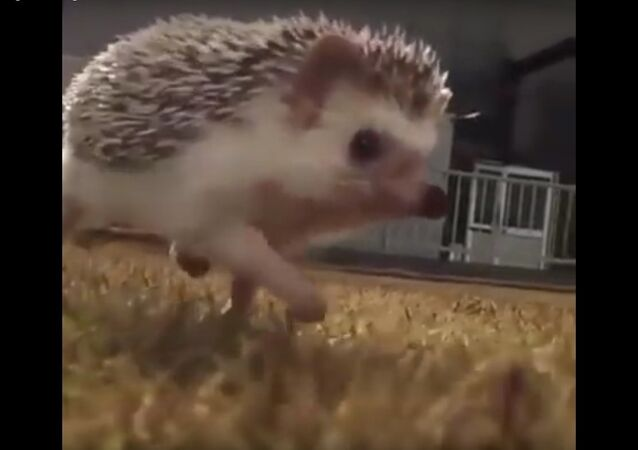 This hedgehog running in slow motion is too much