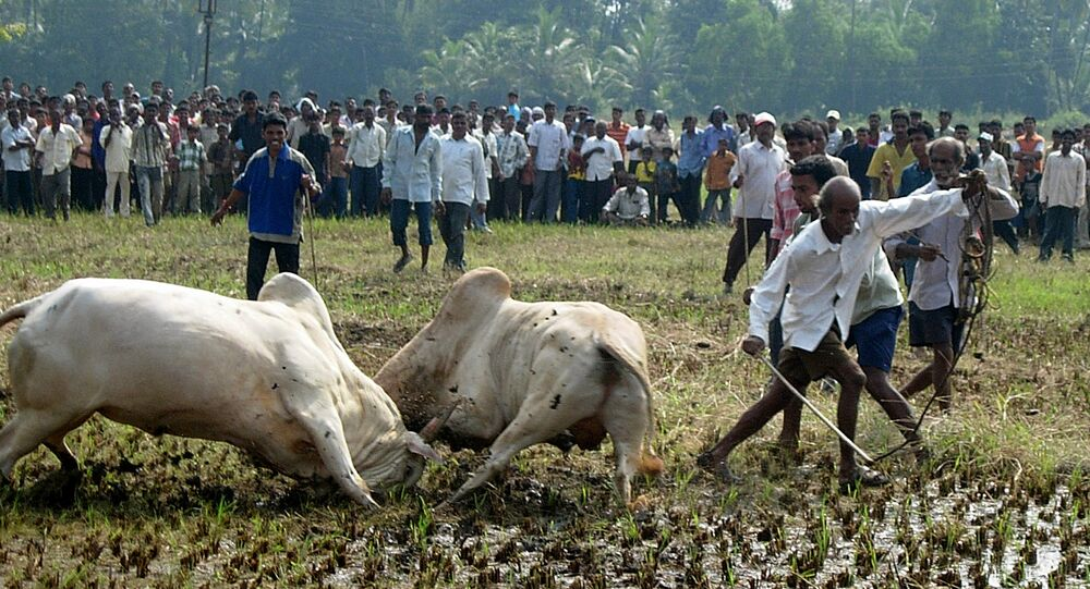 Spectators watching as two bulls lock horns during a bull fight in Benolim, south Goa. (File)