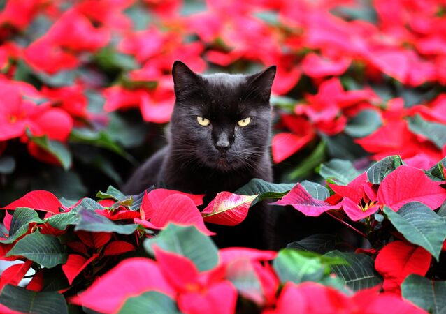 Cat Elmo sits amid red winter roses (poinsettia) in a greenhouse in Barth, northern Germany, Tuesday, Oct. 29, 2013