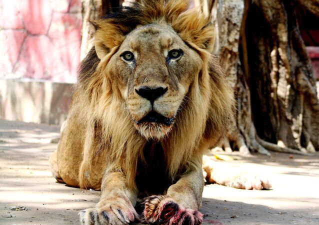 African Hybrid lion Govind, 21, relaxes after receiving treatment at the Kamala Nehru Zoological Garden in Ahmedabad, 17 April 2007.