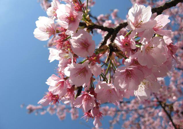 Plum Blossoms, Ueno, Tokyo, Japan.