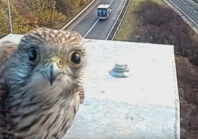Captivating footage of kestrel caught on Highways England M5 CCTV