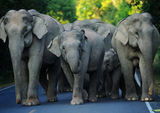 Asian Elephants. (File)