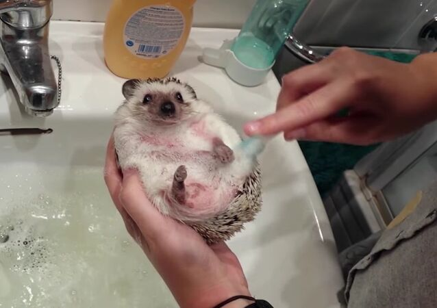 Perfect Bath for Adorable Hedgehog