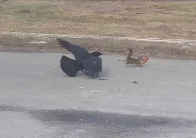 Pizza wielding squirrel vs. crow in a classic winter battle