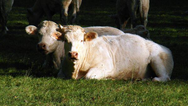Cows - Sputnik International