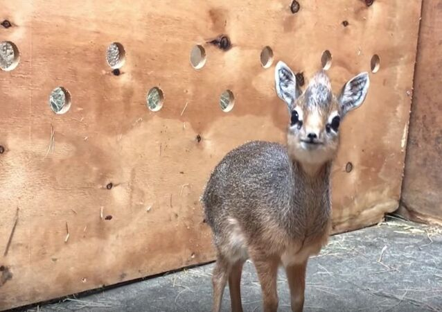 The Cutest Little Animal Ever: Zoo Keepers in Chester Adopt Dik-Dik Antelope
