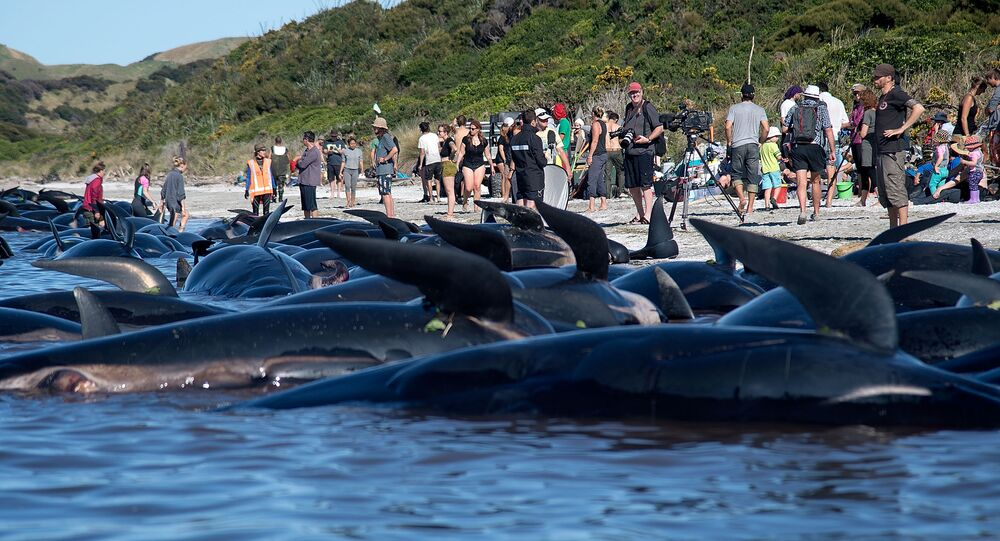 Dead Pilot whales sit on the high tide line during a mass stranding at Farewell Spit on February 11, 2017.