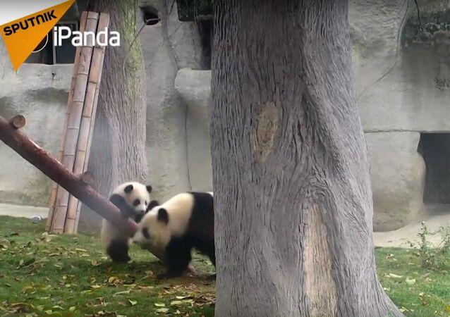 Cute Pandas Learn How To Climb