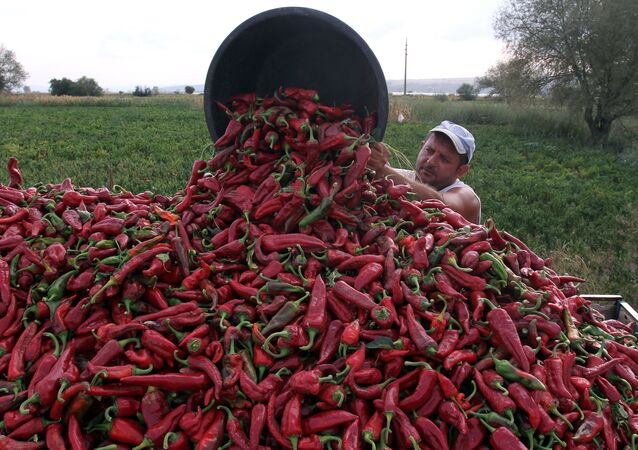 A farmer collects red paprika from a field in the village of Donja Lokosnica, near the city of Leskovac, Southern Serbia, on September 16, 2013