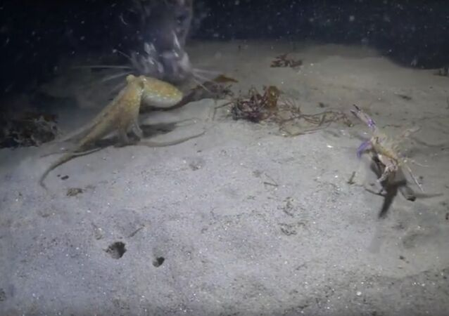 Red Octopus Face Off with a Swimmer Crab