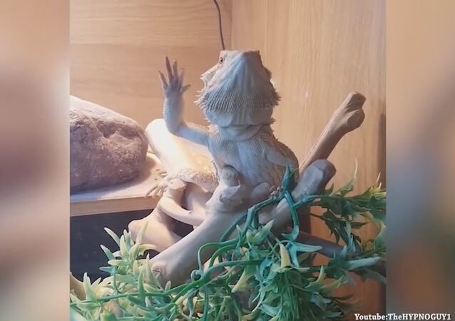 This is what my Lizard does when I wave to him