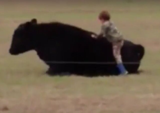 Young boy catapulted off bull's back after reckless father dares child to jump on animal