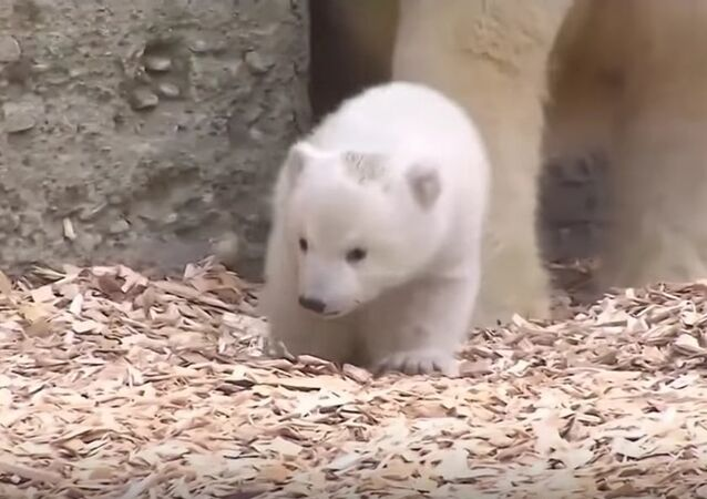 Munich Zoo's Polar Bear Cub Meets The World