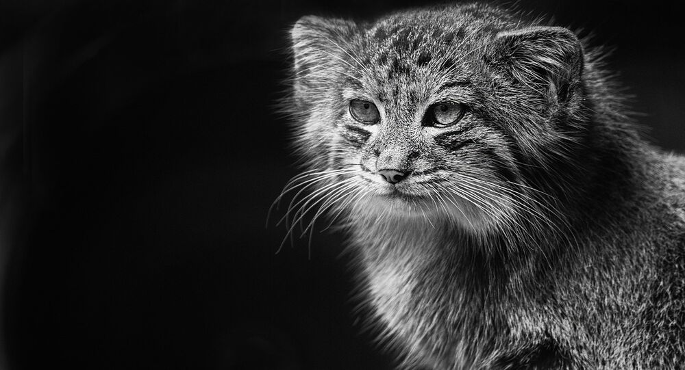 The Pallas's cat (Otocolobus manul)
