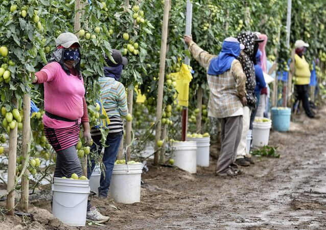 Farm day laborers work at a tomato field in Los Pinos, San Quintin Valley, Baja California State, Mexico (File)