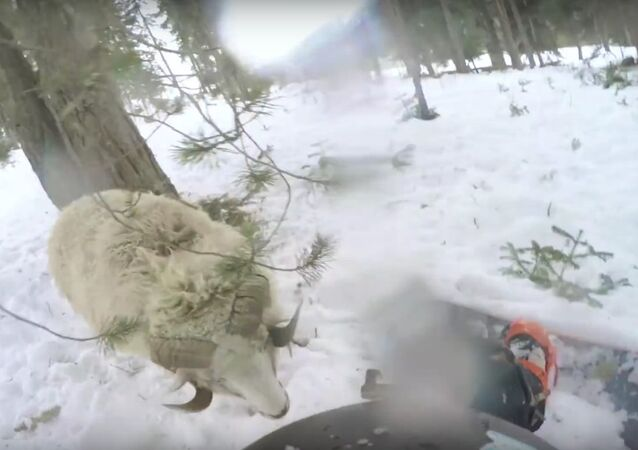 Snowboarder Rams Into Sheep
