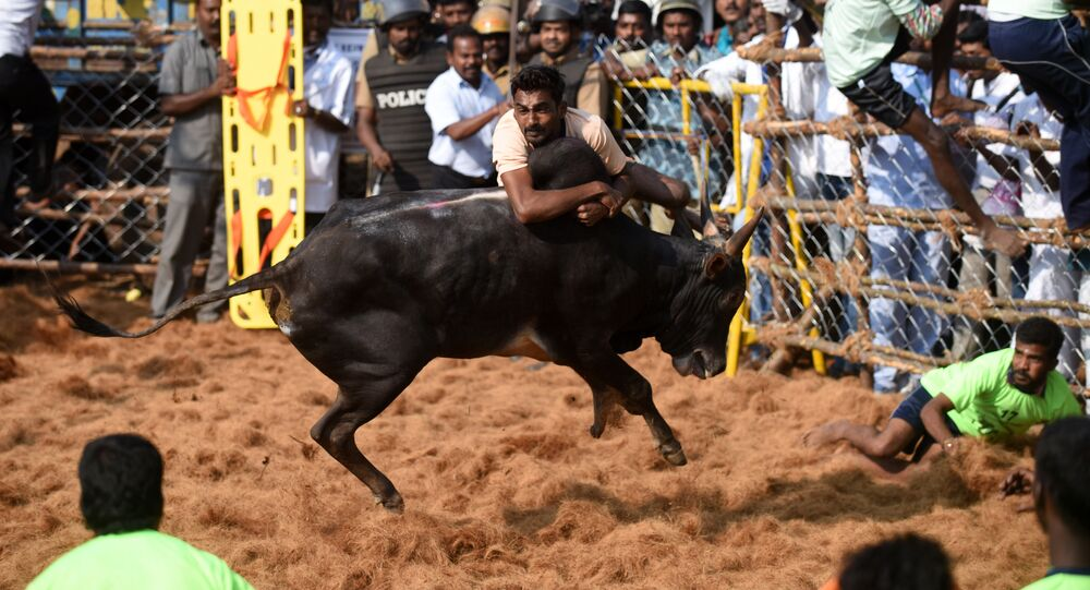 An Indian bull charges through a crowd of bullfighters during the annual Jallikattu bull-taming event in the village of Palamedu on the outskirts of Madurai on 9 February, 2017