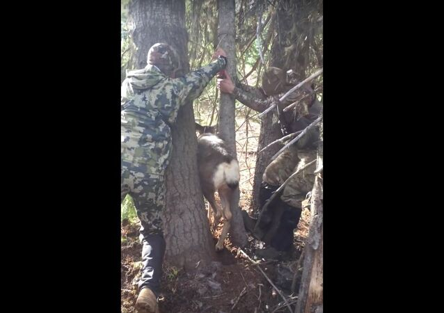 Deer Trapped Between Two Trees When Hunters Come to the Rescue