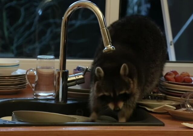 In Almaty, the raccoon climbed into someone else's house and washed the dishes