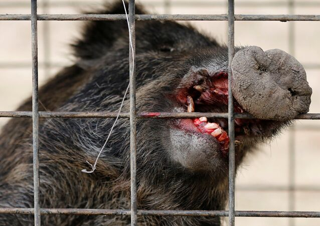 Wild boar is seen in a booby trap near a residential area in an evacuation zone near TEPCO's tsunami-crippled Fukushima Daiichi nuclear power plant in Tomioka town