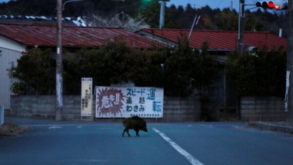 Wild boar walks on a street at a residential area in an evacuation zone near TEPCO's tsunami-crippled Fukushima Daiichi nuclear power plant in Namie town - Sputnik International