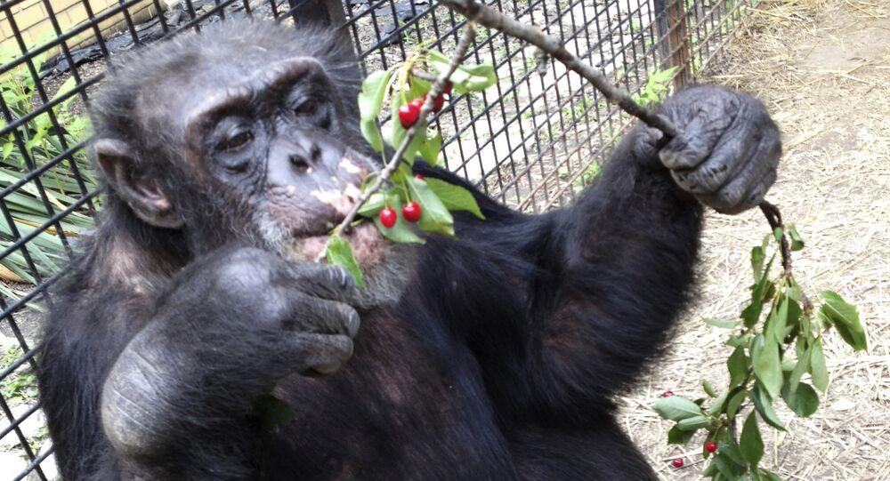Chimpanzee Kiko eats wild cherries at the nonprofit Primate Sanctuary in Niagara Falls, N.Y. (File)