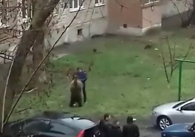 Only in russia: a man takes a bear for a walk