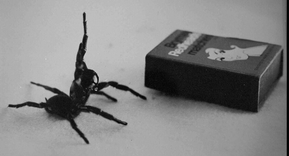 Australia's deadliest spider, the male Funnel Web in this undated filer is compared in size to a matchbox.