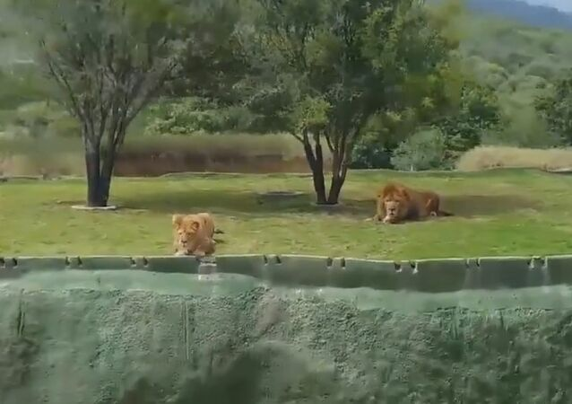 Tourists Scream As Lion Leaps At Them With No Fence