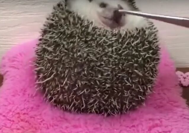 A hedgehog trying to catch a worm