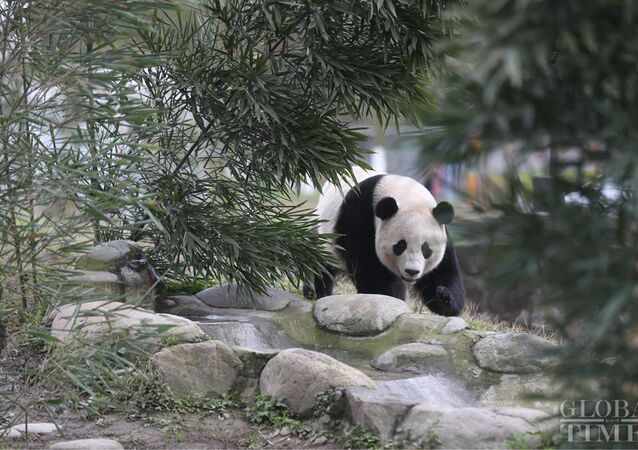 The US-born giant panda Baobao made its official debut on Friday after a one-month quarantine period at the Dujiangyan base of the China Conservation and Research Center for the Giant Panda in Southwest China's Sichuan Province