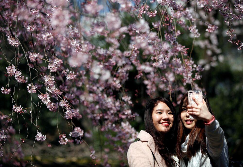 Fleeting Beauty: Cherry Blossoms Bloom Across the World