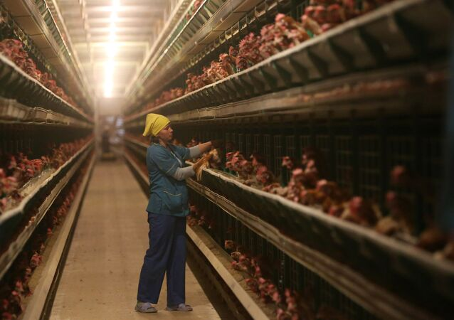 Work at 1st Minsk Poultry Factory in Minsk Region