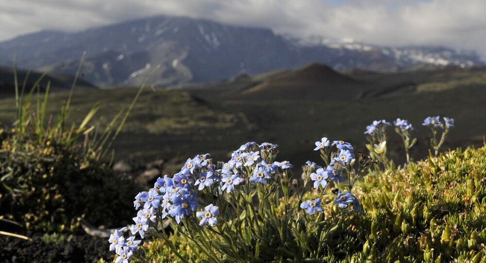 Mountain flowers in the Greater Tolbachic fissure eruption (BFTE) in the Kamchatka region