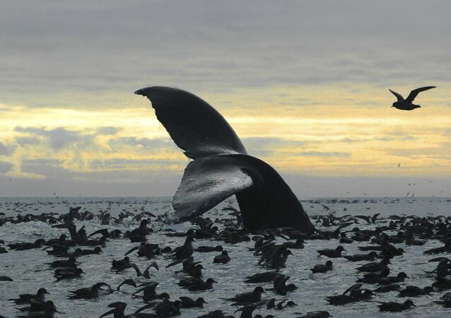 Humpback whale diving among an aggregation of short-tailed shearwaters in Cape Cheerful, near Unalaska, Alaska.