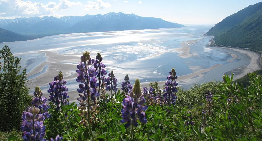 Lupine grows along Bird Ridge Trail on Thursday, June 13, 2013, in Anchorage, Alaska. June is prime alpine wildflower season along the Chugach State Park trail that overlooks Turnagain Arm.The trail begins 25 miles south of downtown Anchorage.