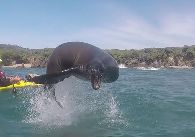 Sea Lion Leaps Over Kayakers