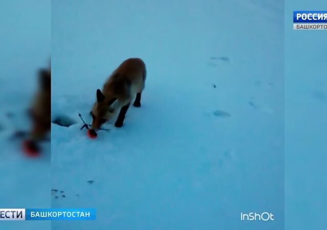 Give a fox a fish and he'll eat for a day...