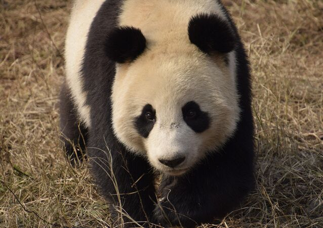 Two-year-old Xing Ya at home in Dujiangyan base of the China Conservation and Research Center for Giant Panda in Chengdu, Sichuan Province