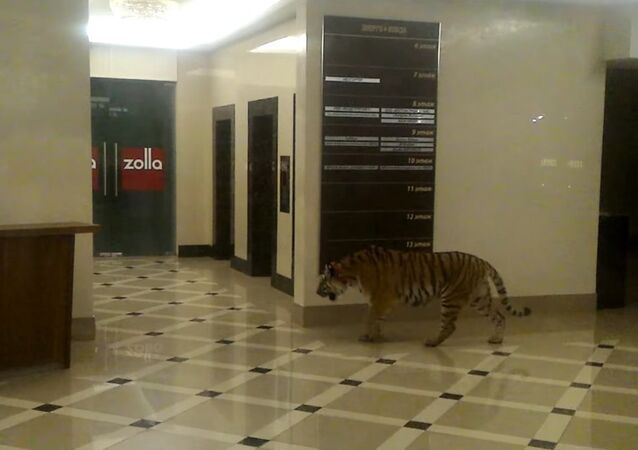 Not just bears: Tiger walking freely in Russian mall