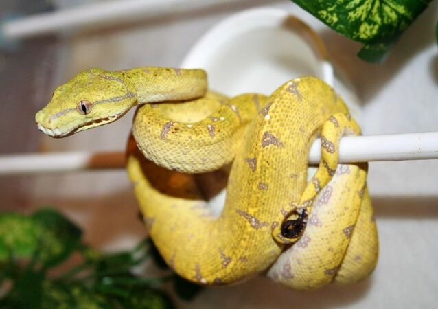 Australian Python.