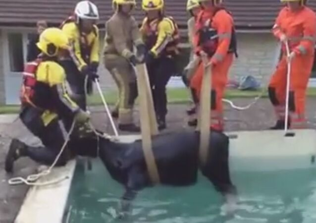 BIZARRE MOMENT FIREFIGHTERS ARE FORCED TO RESCUE A COW FROM A POOL IN DORSET