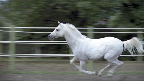An Arab horse. (File) - Sputnik International