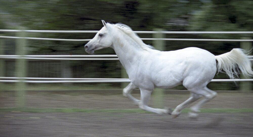 An Arab horse. (File)